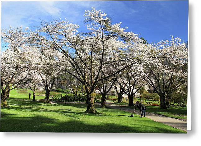 Spring Cherry Blossoms In Stanley Park Vancouver  Greeting Card by Pierre Leclerc Photography