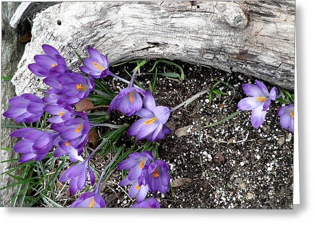 Spring Crocuses And Driftwood Greeting Card