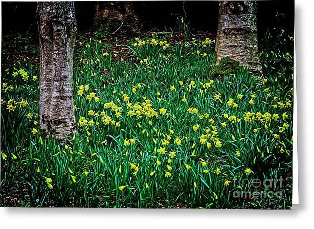 Spring Daffoldils Greeting Card