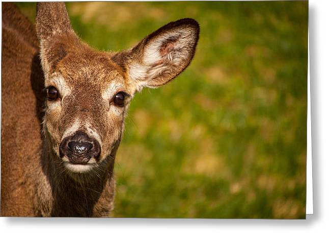 Spring Deer Greeting Card by Karol Livote