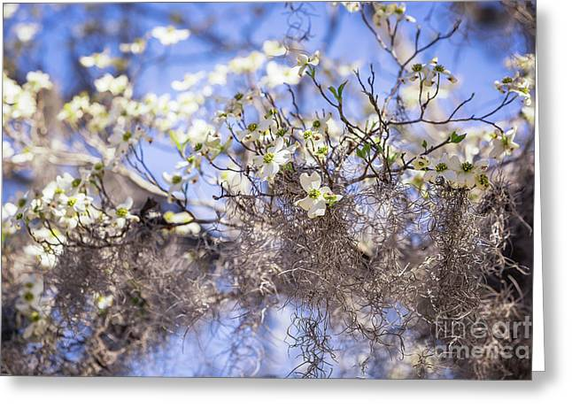 Spring Dogwood Blossoms Greeting Card by Joan McCool
