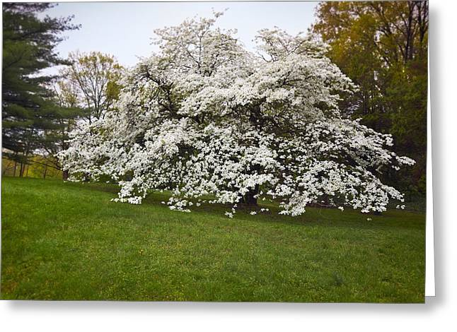 Bract Greeting Cards - Spring Dogwood Greeting Card by Susan Isakson