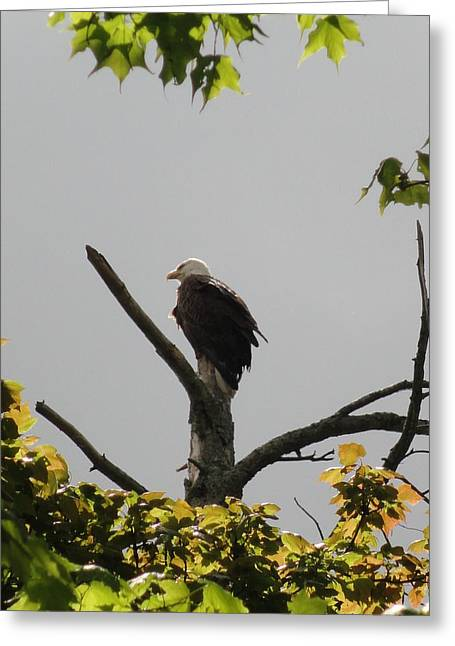 Spring Eagle II Greeting Card by Daniel Henning
