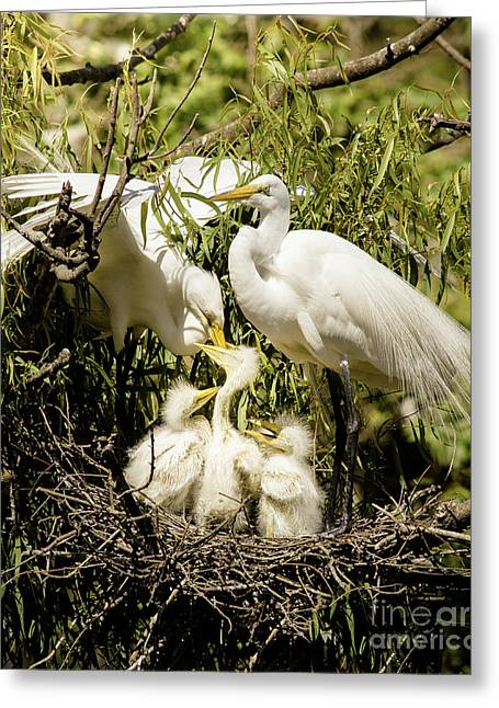 Spring Egret Chicks Greeting Card by Robert Frederick