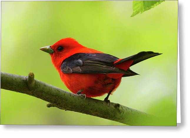 Spring Flame - Scarlet Tanager Greeting Card
