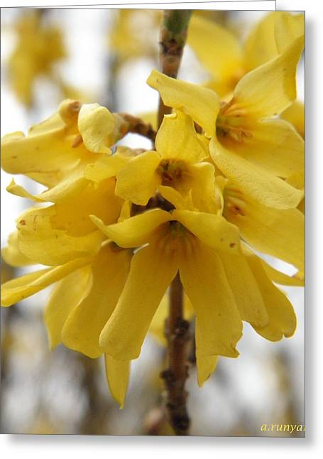 Spring Forsythia Blossoms Greeting Card by Angie Runyan
