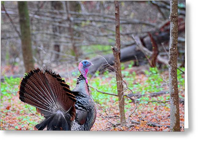 Greeting Card featuring the photograph Spring Gobbler Square by Bill Wakeley