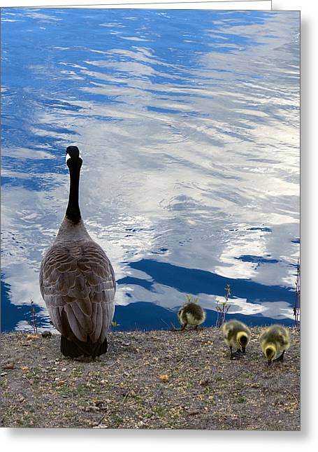 Spring Goslings And Mother Goose Greeting Card by Daniel Hagerman
