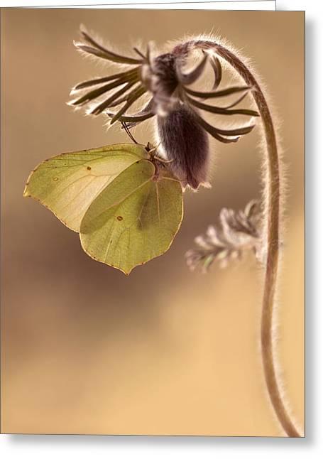 Spring Impression With Pasque Flower Greeting Card by Jaroslaw Blaminsky
