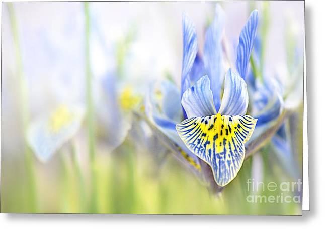 Spring Iris Greeting Card by Jacky Parker