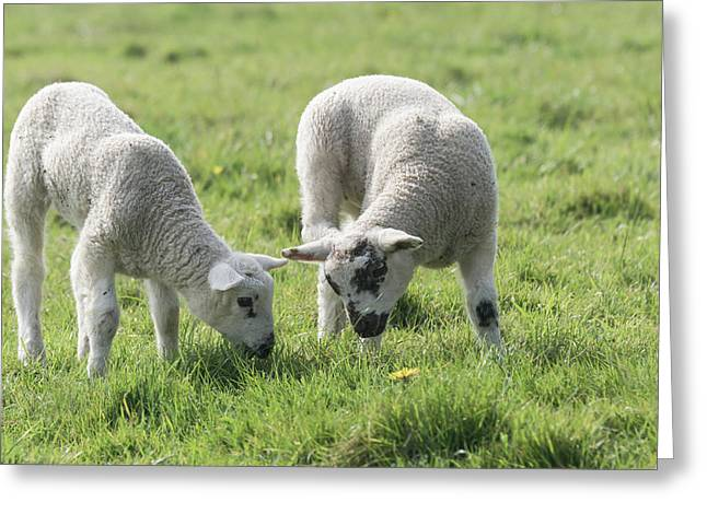 Greeting Card featuring the photograph Spring Lambs by Scott Carruthers