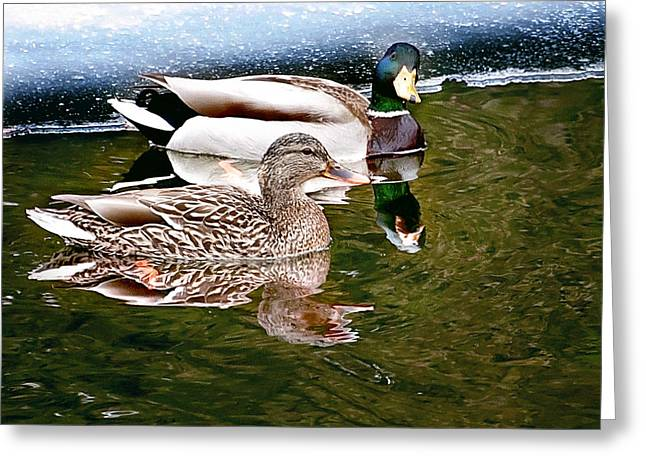 Spring Mallard Print Greeting Card by Gwen Gibson