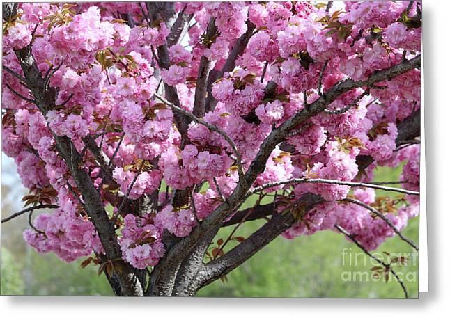 Spring Pink Cherry Tree Greeting Card by Carol Groenen