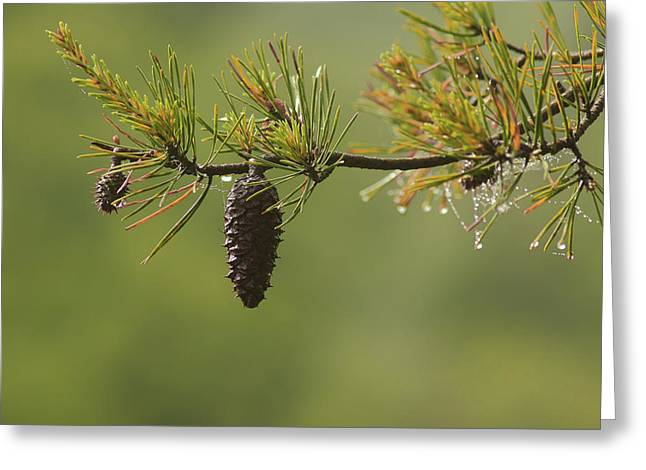 Spring Rain And Pinecone Greeting Card by Michael Eingle