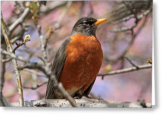 Spring Robin Greeting Card