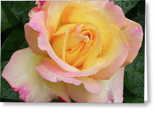 Spring Rose Greeting Card by Quin Sweetman