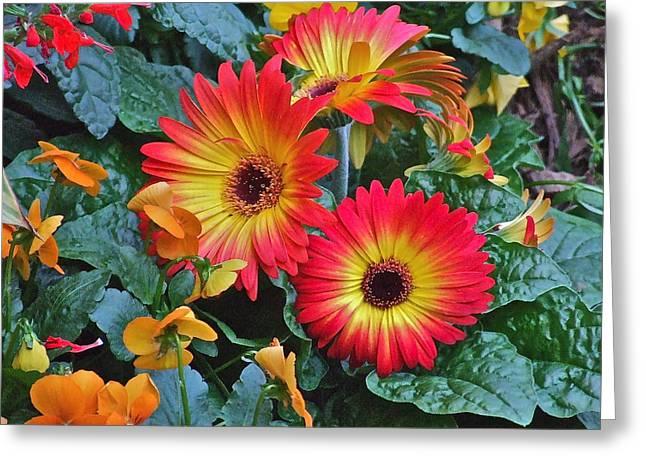 Spring Show 14 Gerbera Daisy 1 Greeting Card