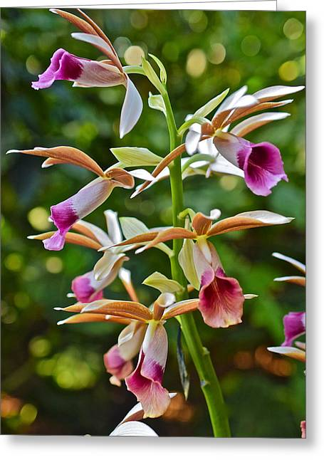 Spring Show 15 Nun's Orchid 1 Greeting Card