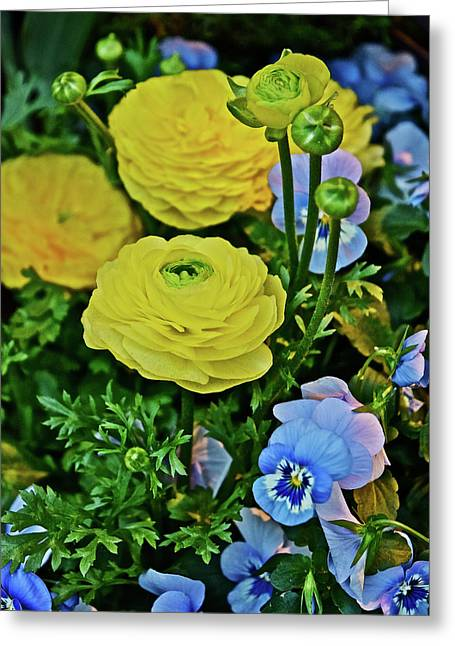 Spring Show 18 Persian Buttercup With Horned Viola Greeting Card