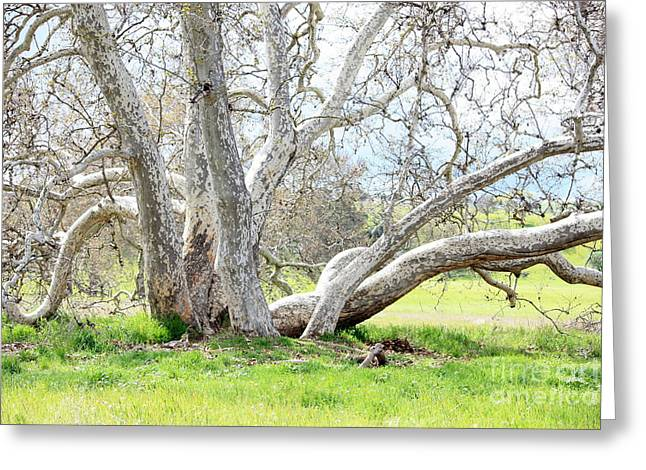 Spring Sycamore Tree Greeting Card