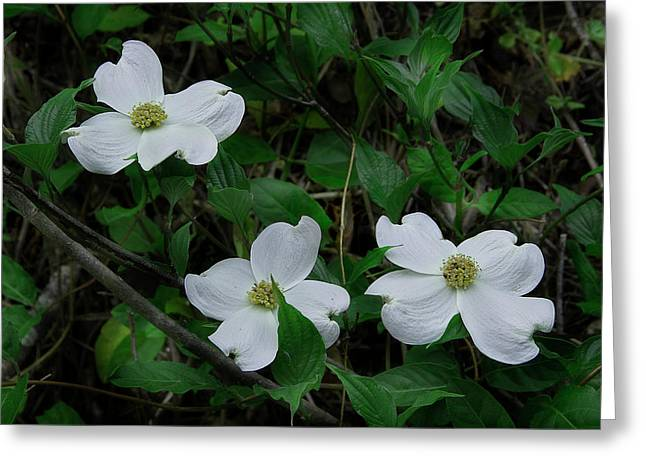 Greeting Card featuring the photograph Spring Time Dogwood by Mike Eingle