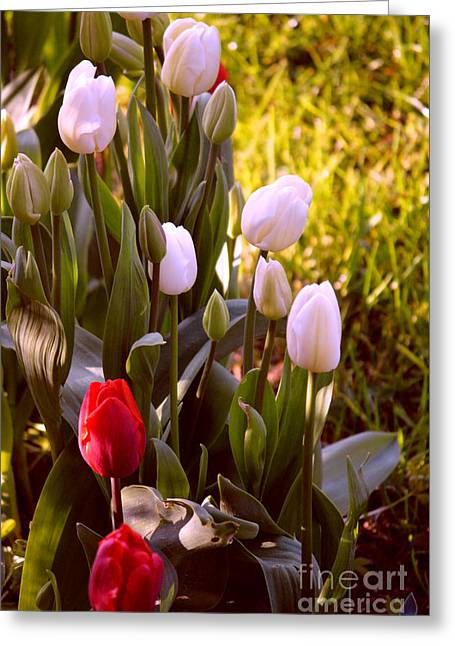Greeting Card featuring the photograph Spring Time Tulips by Susanne Van Hulst