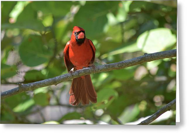 Spring Training Cardinal Greeting Card