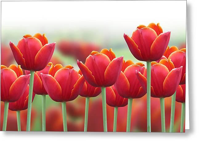 Spring Tulip Flower Background Greeting Card by Angela Waye