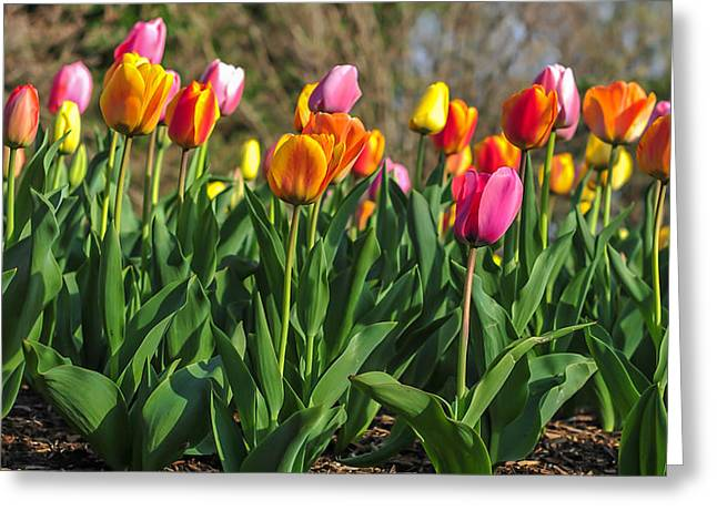 Spring Tulips  Greeting Card by Terry DeLuco