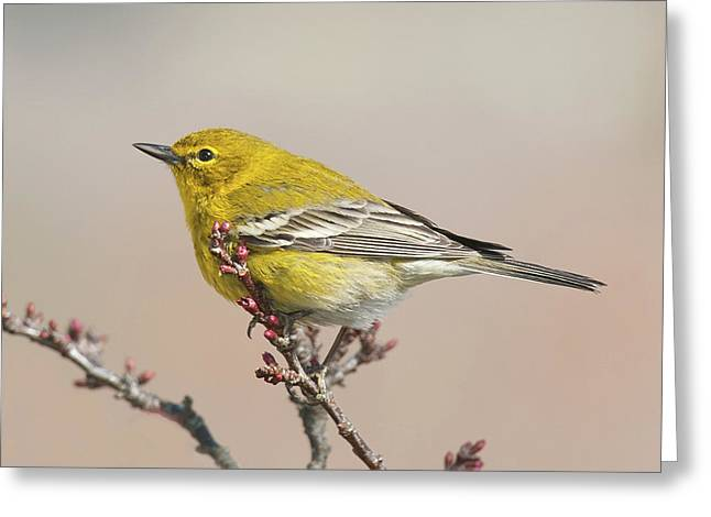 Greeting Card featuring the photograph Spring Warbler 1 2017 by Lara Ellis
