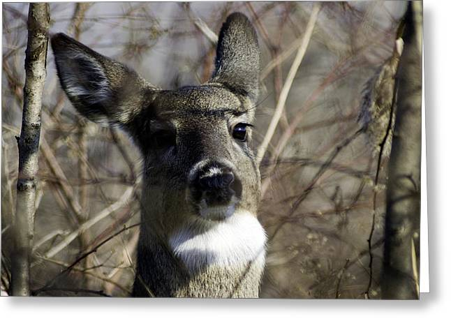 Spring Whitetail Greeting Card