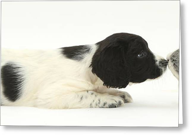 Springer Spaniel Puppy And Guinea Pig Greeting Card by Mark Taylor