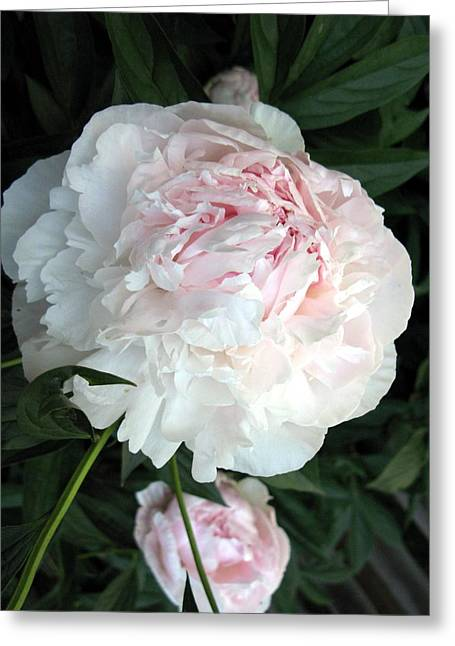 Greeting Card featuring the photograph Springs Peony by Carol Sweetwood