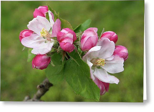 Springtime Apple Blossom Greeting Card by Gill Billington