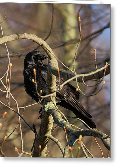 Springtime Crow Greeting Card