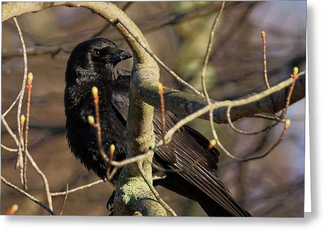 Springtime Crow Square Greeting Card by Bill Wakeley