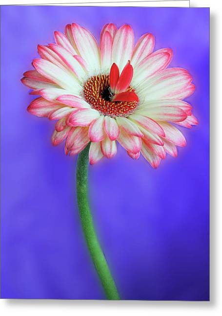 Sprouting Dahlia Greeting Card