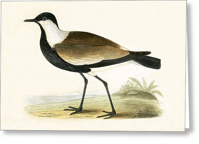 Spur Winged Plover Greeting Card