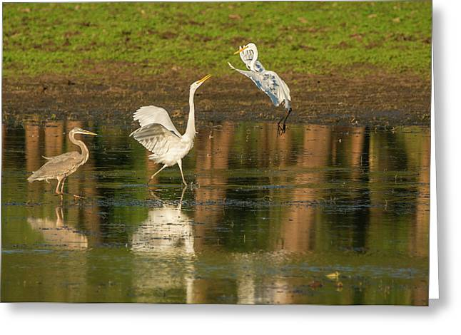 Squabble At The Pond Greeting Card