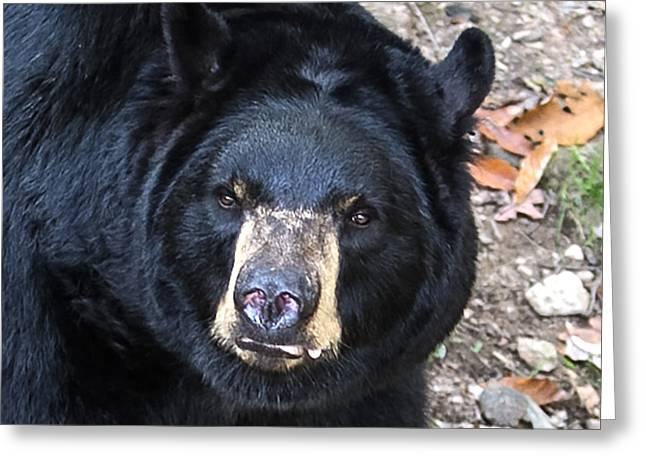Square Bear Stare Greeting Card by John Haldane