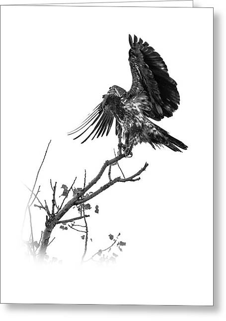 Squaw Creek Red-tail Greeting Card