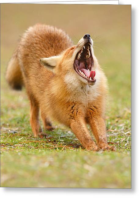 Squealing Brakes - Yawning Red Fox Greeting Card by Roeselien Raimond