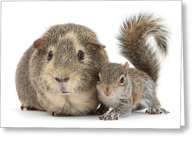 Squirrel And Guinea Greeting Card