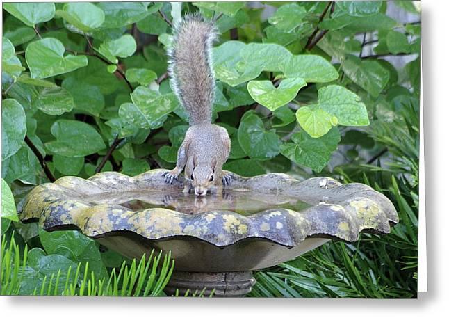 Squirrel At The Birdbath Greeting Card by Richard Rizzo