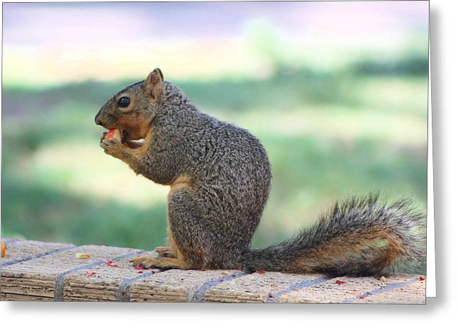Squirrel Eating Crab Apple Greeting Card by Colleen Cornelius