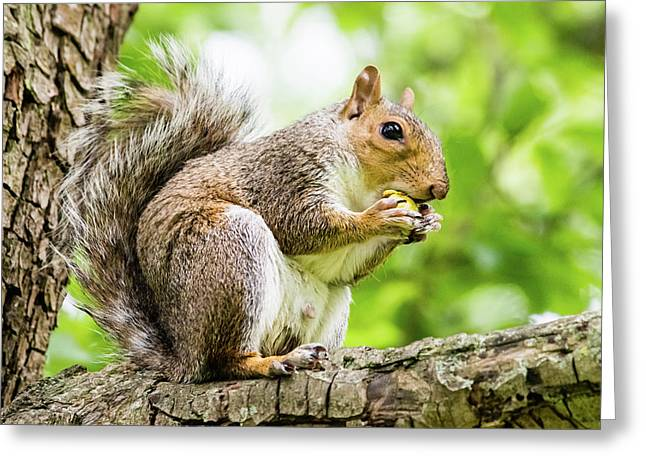 Squirrel Eating On A Branch Greeting Card