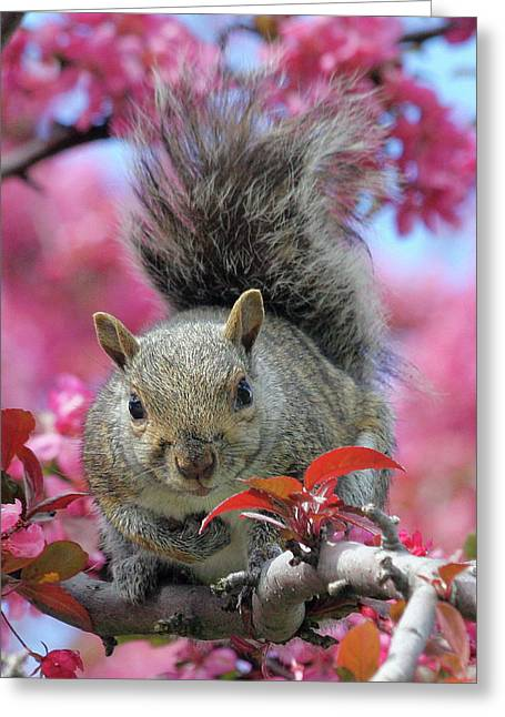 Greeting Card featuring the photograph Squirrel In Apple Blossoms by Doris Potter
