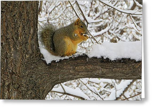 Squirrel In The Snow Greeting Card by Connor Beekman