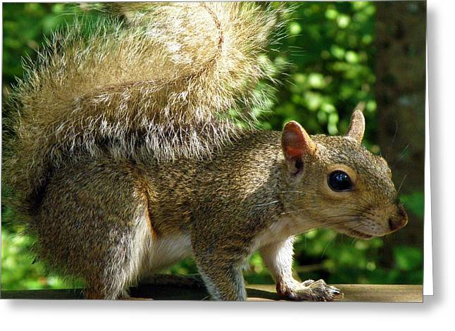 Squirrel In The Sunshine Greeting Card by Rose  Hill
