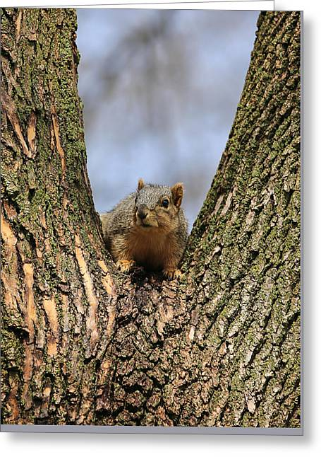 Squirrel In Tree Fork Greeting Card